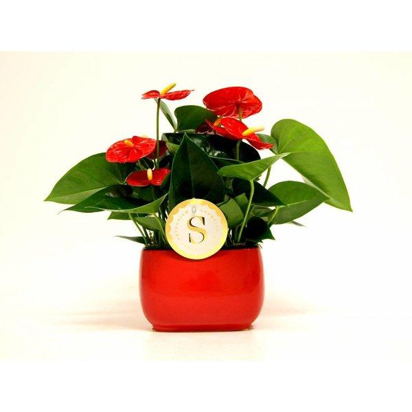 Anthurium Red in Venis pot