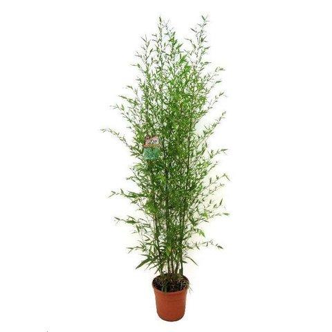Aurea Bamboe