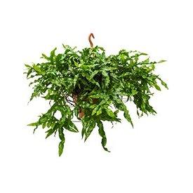 Fleur.nl - Microsorum Diversifolium Large