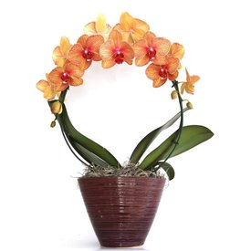 Fleur.nl - Orchidee Mirror Orange in pot