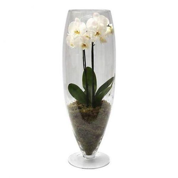 Orchidee White In Vase Majestic Eenvoudig En Snel Online Bestellen