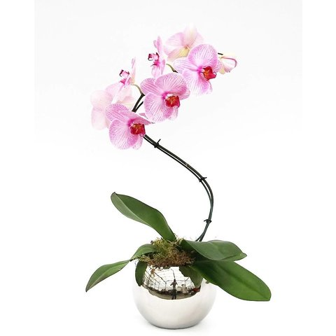 Orchidee Pink Twister in Silver pot
