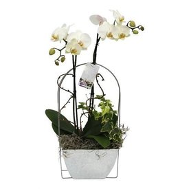 Fleur.nl - Orchidee White in Zinc pot bow