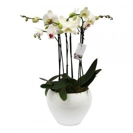 Fleur.nl - Orchidee White in pot White Complete