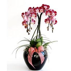 Fleur.nl - Orchidee Red Waterfall in pot Black