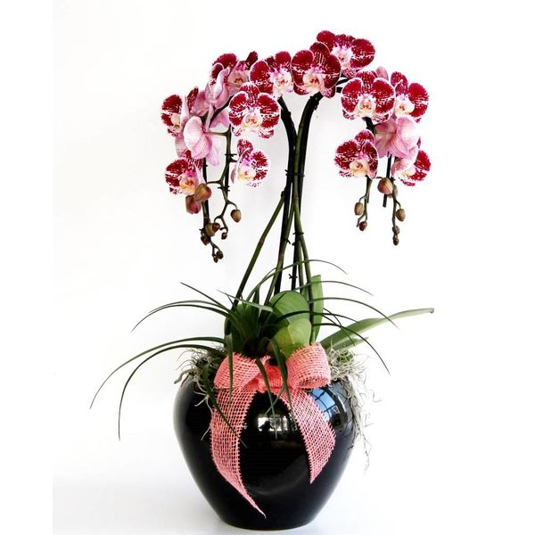 Orchidee Red Waterfall in pot Black