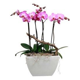 Fleur.nl - Orchidee robusto pink