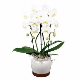 Fleur.nl - Orchidee White Cascade Torin