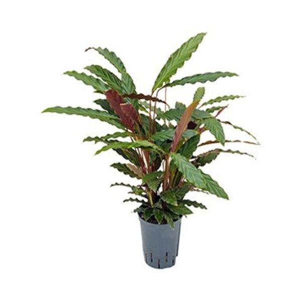 Calathea Rufibarba - hydrocultuur