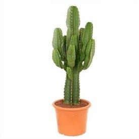 Fleur.nl - Cactus Euphorbia Ingens Large