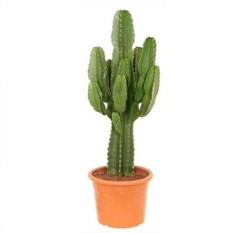 Cactus Euphorbia Ingens Large
