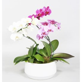 Fleur.nl - Orchidee Diamond Carnaval Twister