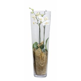 Fleur.nl - Orchidee white golden glas