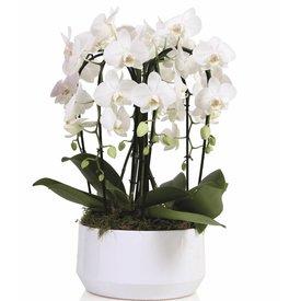 Fleur.nl - Orchidee White Diamond Crown
