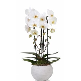 Fleur.nl - Orchidee White togo