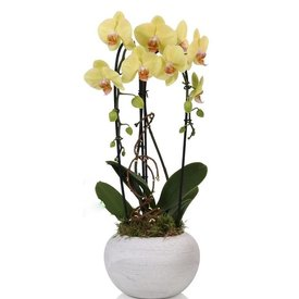 Fleur.nl - Orchidee Yellow Togo