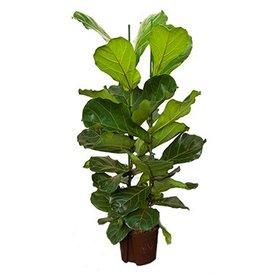 Fleur.nl - Ficus Lyrata - hydrocultuur