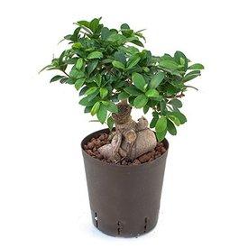 Fleur.nl - Ficus Micr. Ginseng 500 gram - hydrocultuur