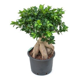 Fleur.nl - Ficus Micr. Ginseng - hydrocultuur