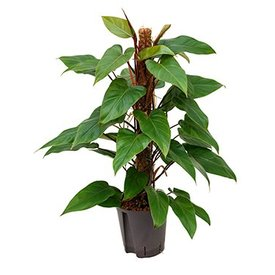 Fleur.nl - Philodendron Red Emerald - hydrocultuur