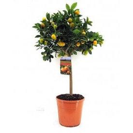 Fleur.nl - Sinaasappelboom large