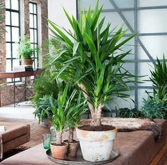 Grote kantoorplanten