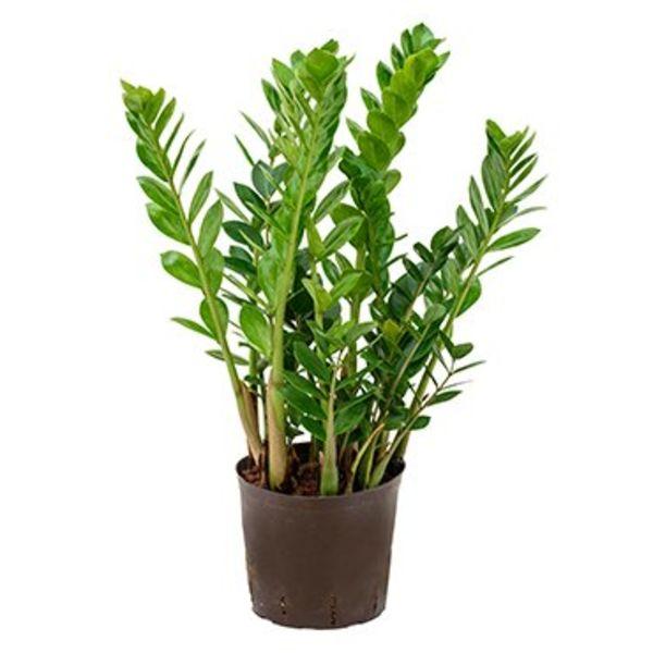 Zamioculcas Zamiifolia Hydrocultuur Eenvoudig En Snel Online