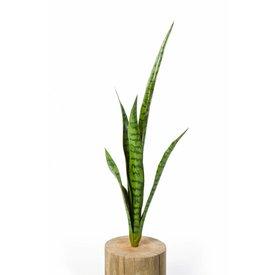 Fleur.nl - Sansevieria - kunstplant