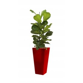 Fleur.nl - Ficus Lyrata met pot - hydrocultuur