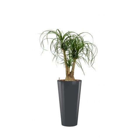 Beaucarnea Recurvata met pot - hydrocultuur