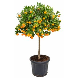 Fleur.nl - Sinaasappelboom Sinensis op stam XXL