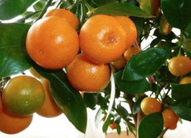 Verzorgingstips voor sinaasappelbomen