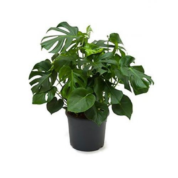 Monstera Gatenplant