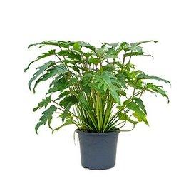 Fleur.nl - Philodendron Xanadu Bush medium