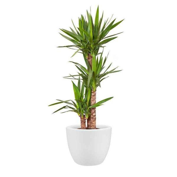 Yucca Elephantipes Palmlelie Toef Medium Eenvoudig En Snel Online