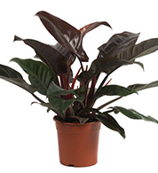 Philondendron Imperial Red