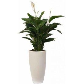 Fleur.nl - Spathiphyllum XL in pot Elho