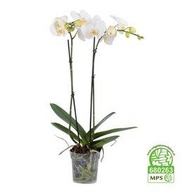 Fleur.nl - Orchidee White