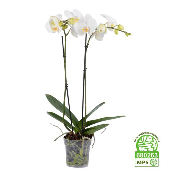 Orchidee White