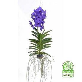 Fleur.nl - Vanda Blue
