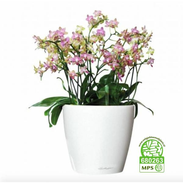 Orchidee little pink in watergevende pot