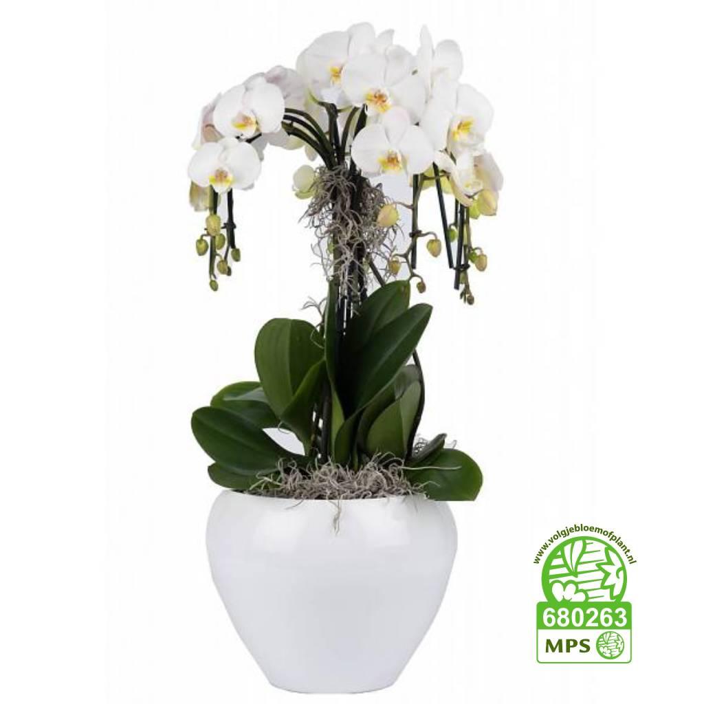 orchidee waterfall in pot white eenvoudig en snel online bestellen. Black Bedroom Furniture Sets. Home Design Ideas