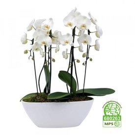 Fleur.nl - Orchidee White Twin in schaal