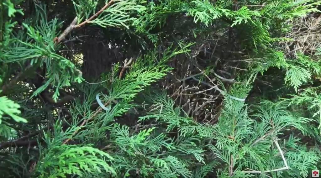 Gaten en bruine plekken in de conifeer of coniferenhaag. Wat te doen?