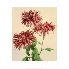 Chrysanthemums, Vintage Japanese Photography