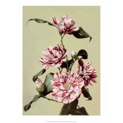 Camellia, Vintage Japanese Photography