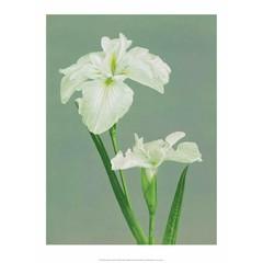 Iris, Vintage Japanese Photography