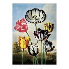 Botanical Print, Tulips