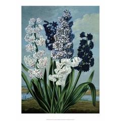 Botanical Print, Hyacinths