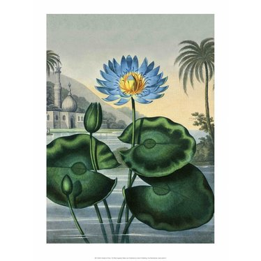 Botanical Print, The Blue Egyptian Water Lily